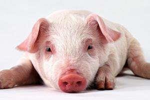 """巴西尝试用基因编辑技术培育""""供体猪"""",减少猪器官移植排异"""