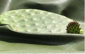 太酷了!墨西哥研发仙人掌皮革,或将拯救数亿只动物!