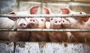 """科研人员成功做出有望用于临床异种器官移植的""""猪3.0"""""""