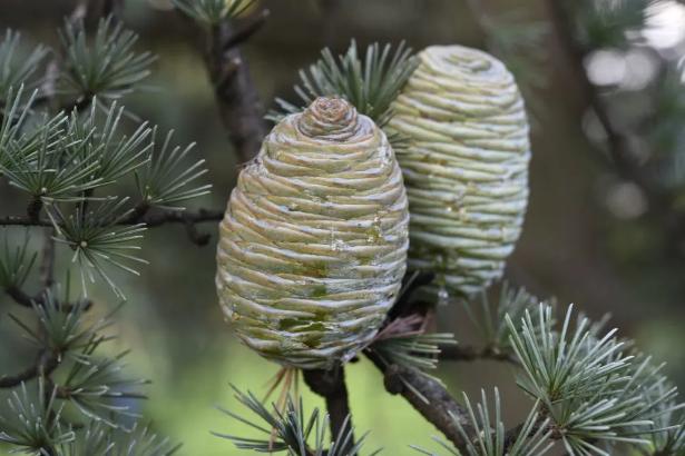 裸子植物进化成谜?新论文指向干冷气候环境